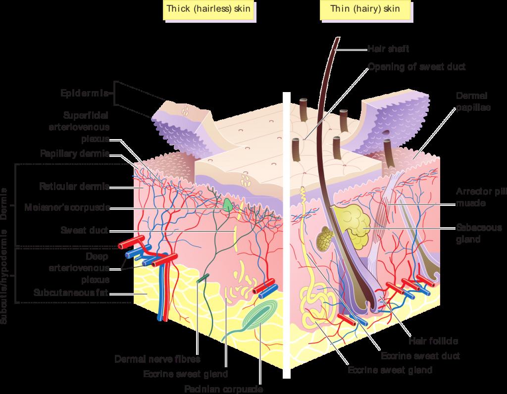 huid diagram zonder lipoedeem