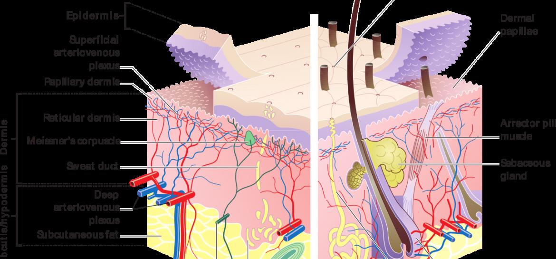 huid diagram